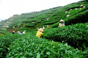 Darjeeling - Flavour Of The Hills